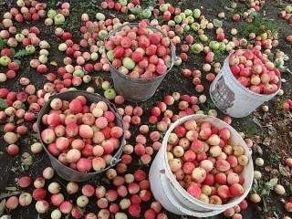 Практика повышения урожая яблонь
