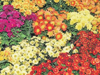 Корейские хризантемы зимуют без шубы