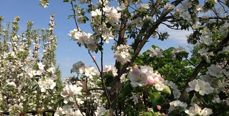 Мероприятия по уходу за яблоней в период окончание цветения