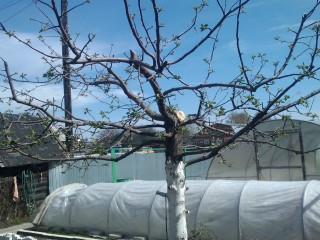 Обрезка яблонь по контуру