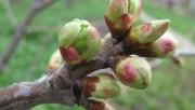 Влияние количества почек на плодоношение яблонь