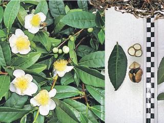 Выращивание чайного дерева на подоконнике
