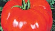 Список новых сортов томатов