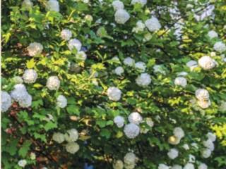 «Снежный шар» - калина обыкновенная (Viburnum opulus) 'Roseum'