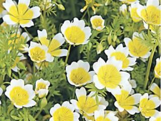 Советы по цветам Немофила и Лимнантес