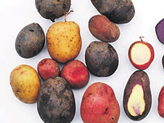 Как вырастить здоровый картофель