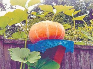 Посадка тыквы в бочку