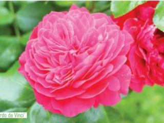 Топ самый лучших сортов роз