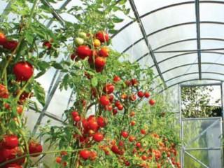 Типы роста томатов