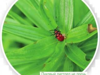 Заболевание и вредители лилий