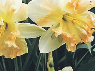 Нарциссы -  нестандартные сорта