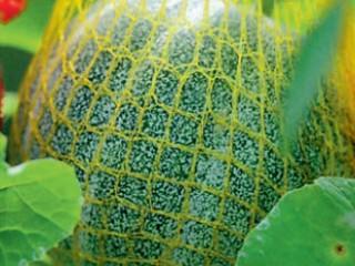 Прививка тыквенных - арбуз, дыня