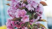 Сакура - жемчужина среди цветов