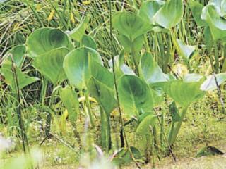 Какие растения выбрать для пруда