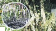 Растение Цимицифуга