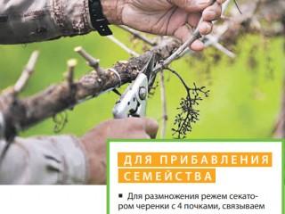 Обрезка и укрытие винограда