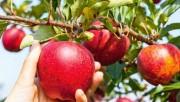 Как садить яблоню
