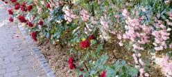 Розы на бордюрах