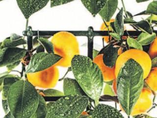 О чем молчит пухлый мандарин?