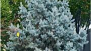 Цветник в серебристых цветах