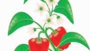 Выращивание сладкого перца в Средней полосе России