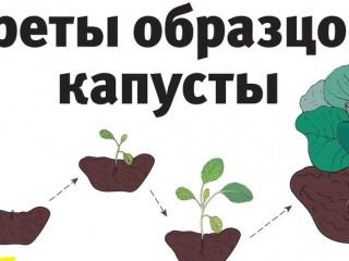 Секреты выращивания капусты