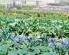 Овощи или цветы?