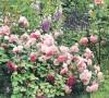 Что посадить возле роз?