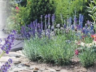 Лаванда - условия для успешного цветения