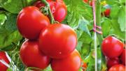 Нюансы выращивание томатов