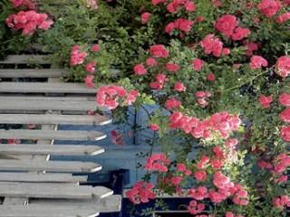 Цветник из роз - небольшой розарий