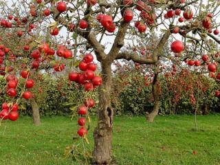 Защита насаждений яблонь от вредителей и болезней