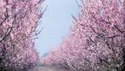 Луговые сады яблонь