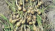 Семейны лук - луковка из гнезда
