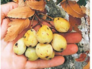 Рябина - выращивание из семян и сорта