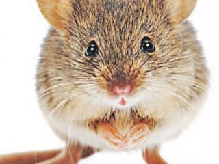 Чем напугать мышей