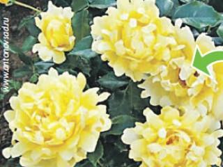 Розы-метаморфозы