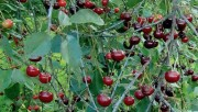 Прививки плодово-ягодных
