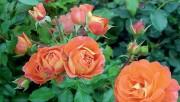 Парадный цветник с розами