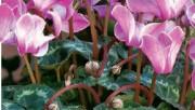 Попурри из цветов