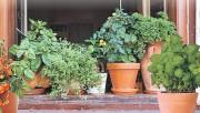 Витаминные растения на подоконнике в горшке