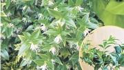 Саркококка - зимний ландыш
