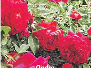 Розы канадской закалки