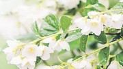 Жасминовый парфюм сада