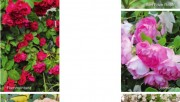 Какие розы выбрать?