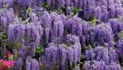 Все о цветке Глициния