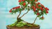 Хризантемы бонсай