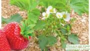 Молодило - действительно каменная роза