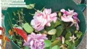 Обрезка роз - все что нужно знать