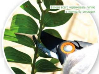 5 способов размножить лилии